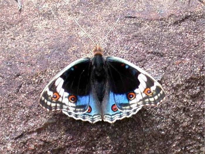 Blue Pansy (Brian Goodey)