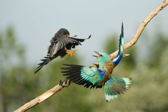 European Roller Coracias garrulus & Red-footed Falcon Falco vespertinus, adults, in combat at nesting site, Kiskunfélegyhá…