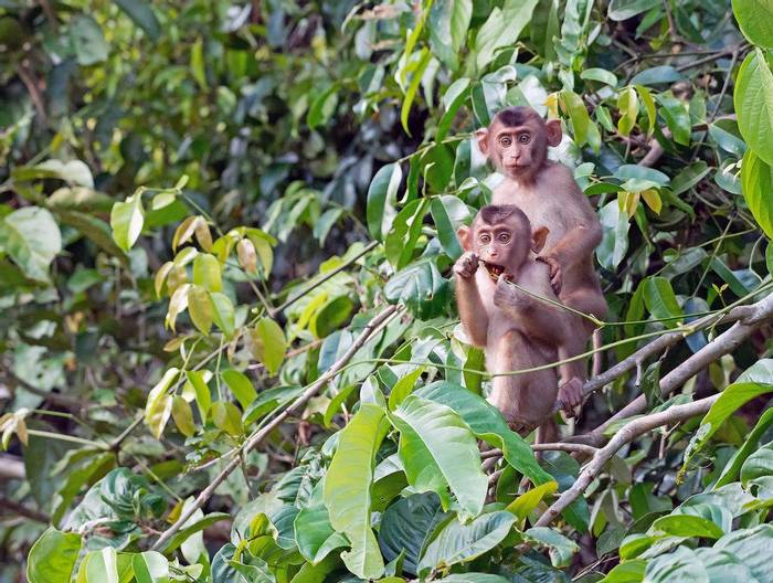 Pig-tailed Macaque (Clive Turnbull)
