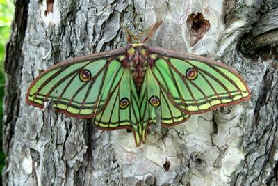 Spanish-Moon-Moth