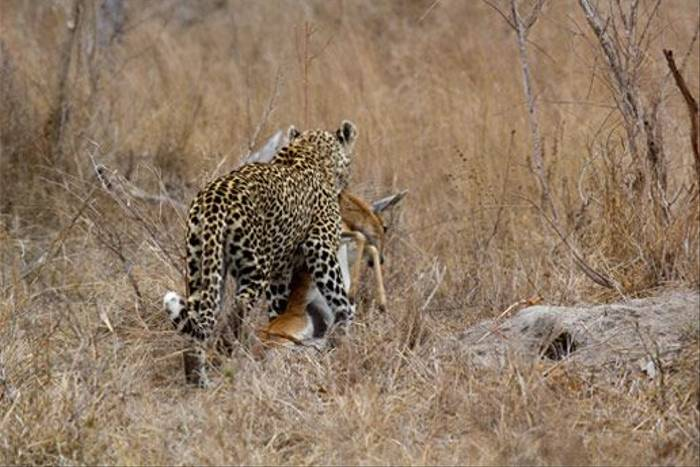 Leopard with kill (Leon Marais)