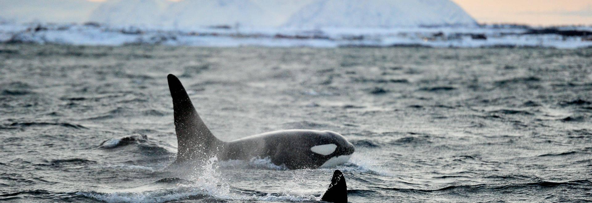 Orca, Norway Shutterstock 587367881