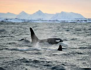 Norway - Orcas, Humpbacks & Northern Lights -  A Winter Arctic Cruise