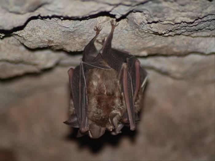 Horseshoe Bat (Thomas Mills)