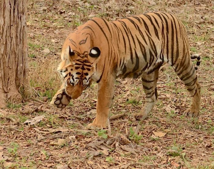 Tiger (Pradeep Singh)