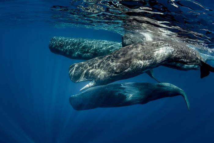 Sperm-Whale-pod,-Azores-shutterstock_506379340.jpg
