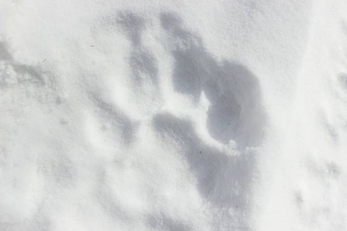 Fresh Siberian Tiger Track On The Road