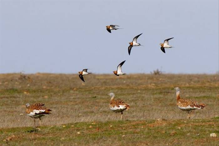 Pin-tailed Sandgrouse (Steve Fletcher)