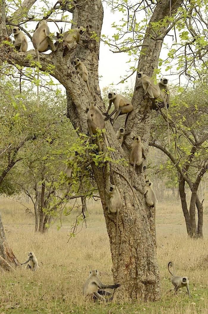 Common Langurs (Pradeep Singh)