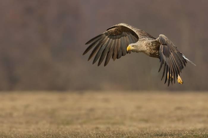 White Tailed Sea Eagle. Shutterstock 228942451