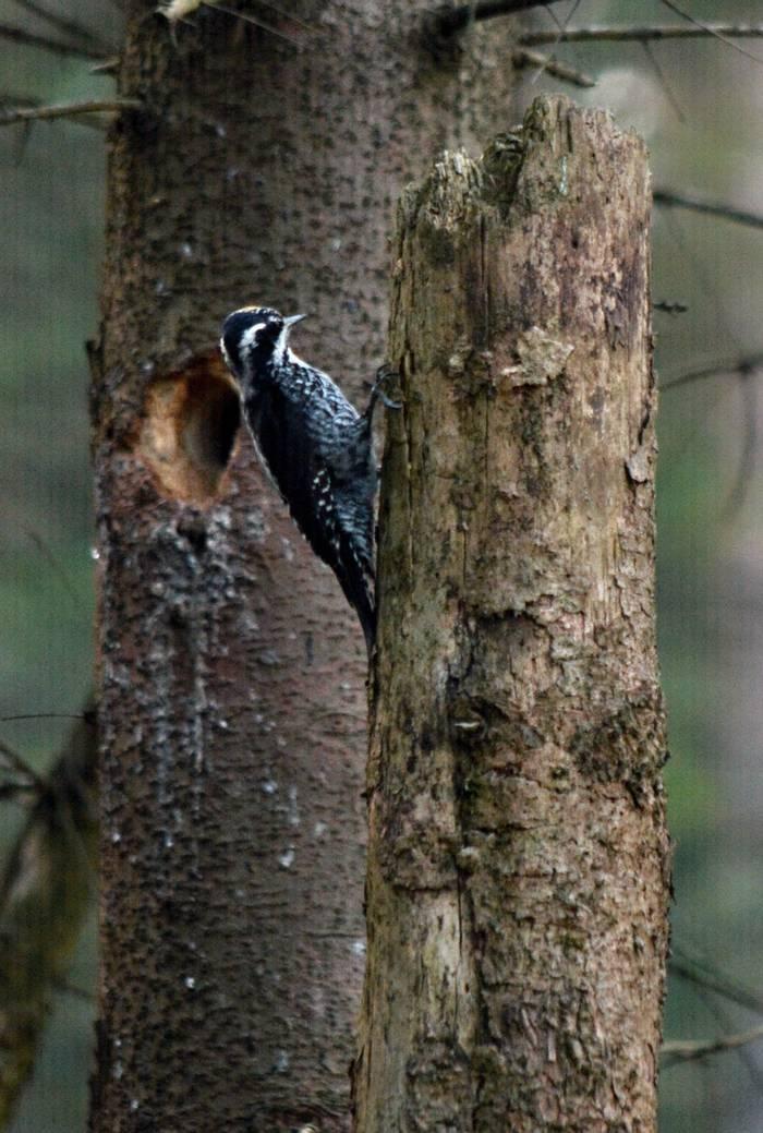 Three-toed Woodpecker, Martin Hrouzek