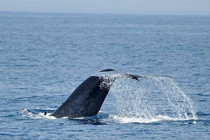 Bue Whale (Anne-Marie Kalus)