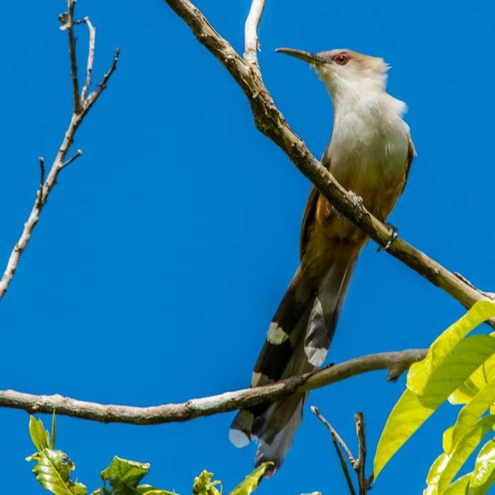 Puerto Rican Lizard Cuckoo shutterstock_1023449875.jpg