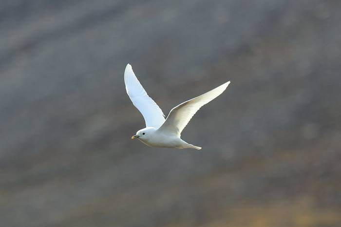 Ivory Gull (Bret Charman)