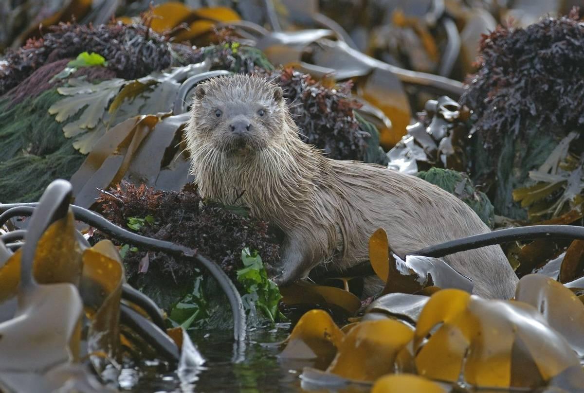 Otter, Mull