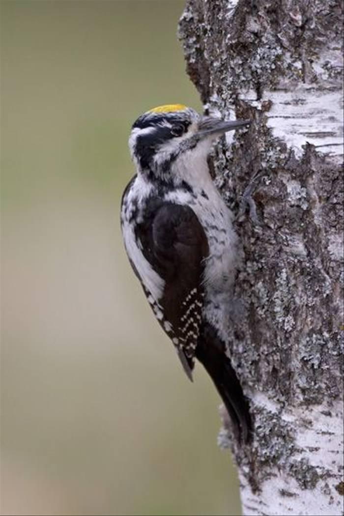 Three-toed Woodpecker (Jari Peltomaki)