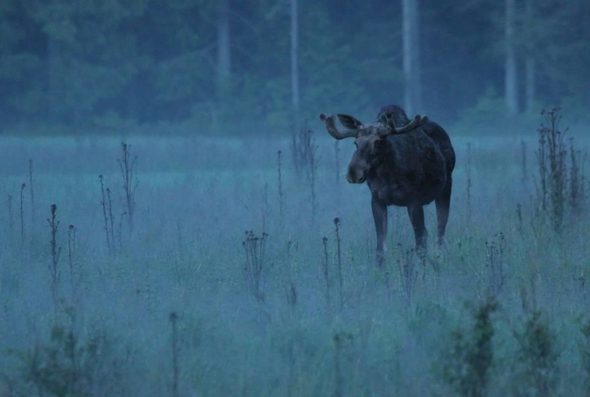 Elk (Jan Nordstrom)