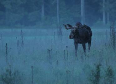 Sweden's Mammals