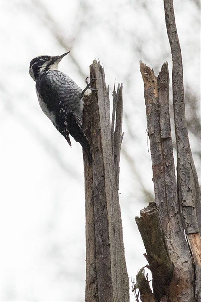 Three-toed Woodpecker (Rob Daw)