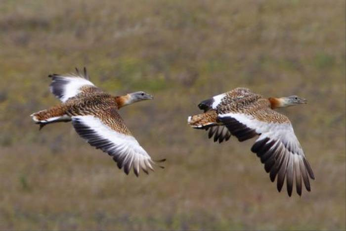 Great Bustards (Steve Fletcher)