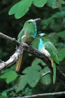 Blue-bearded Bee-eater (S. Y. Phanich)