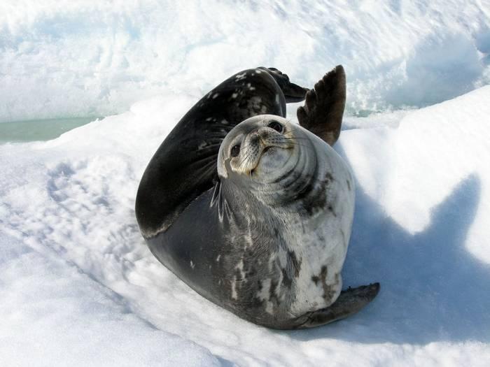 Weddell Seal, Antarctica Shutterstock 53406139