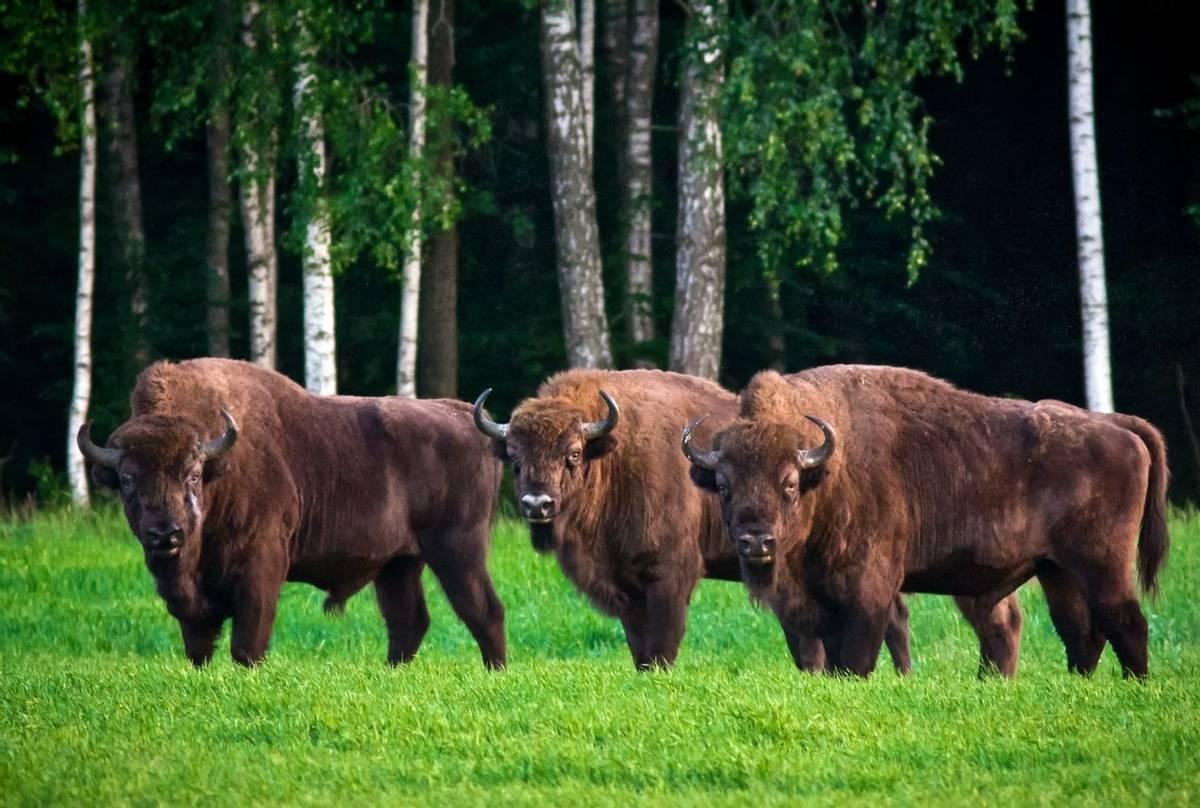 European Bison, Belarus Shutterstock 676976212