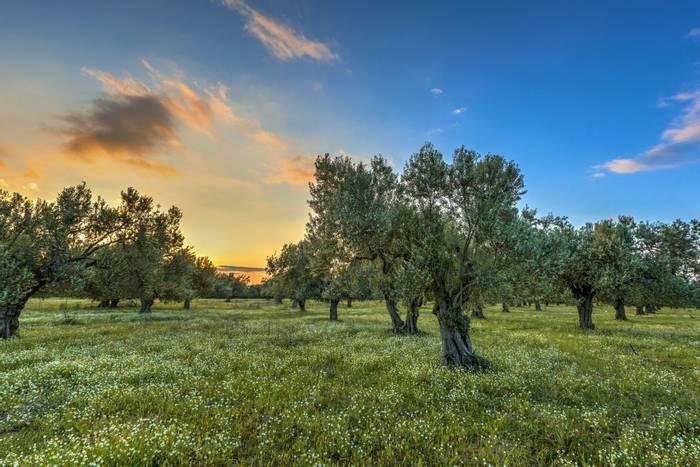 Olive Grove, Lesbos Greece shutterstock_286740509.jpg