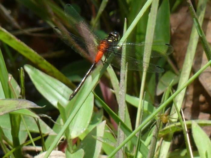 Rubytailed Hawklet, Epithemis mariae (Steve Dutmer)
