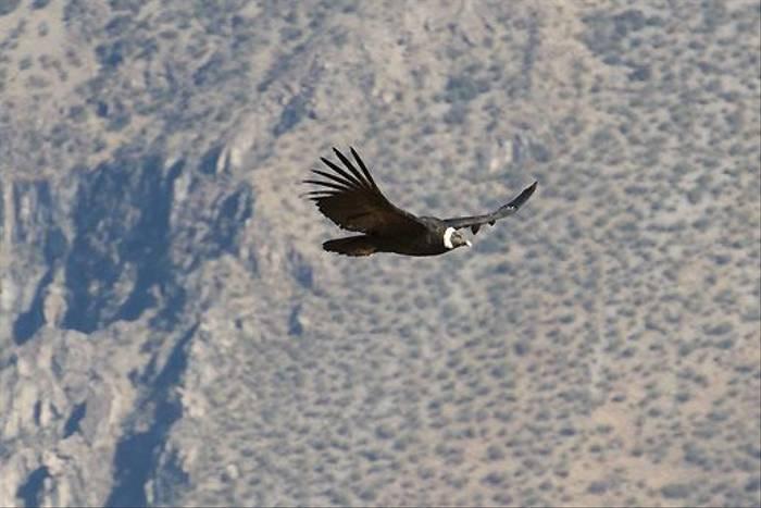 Andean Condor, Colca Canyon (David Allison)