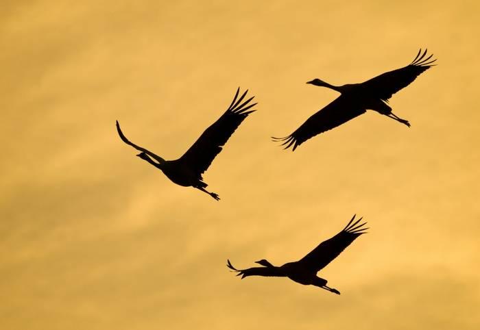 Common Cranes, Spain shutterstock_1079482298.jpg