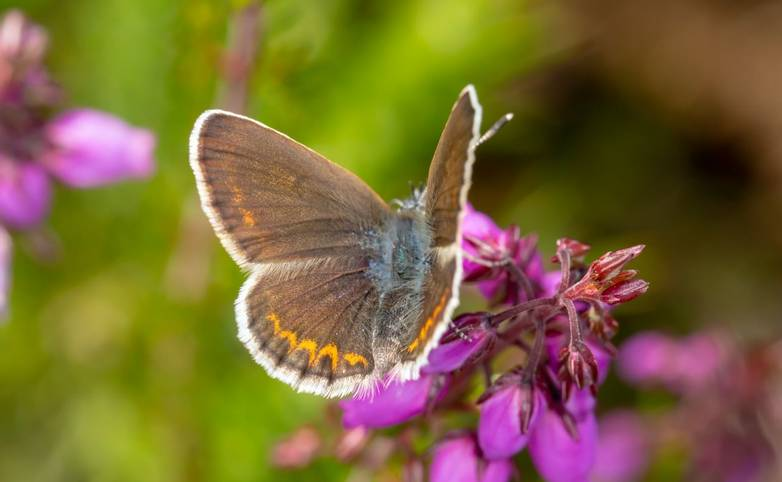 Female Silver-studded blue from above
