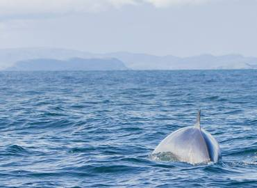 Whales & Dolphins of the Scottish Hebrides