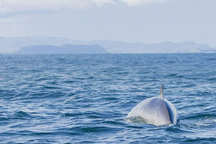 Minke-Whale,-Scotland-shutterstock_376561957.jpg