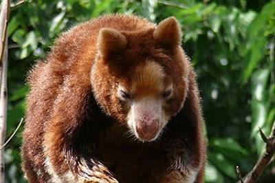 Tree Kangaroo, Australia by Susan Flashman