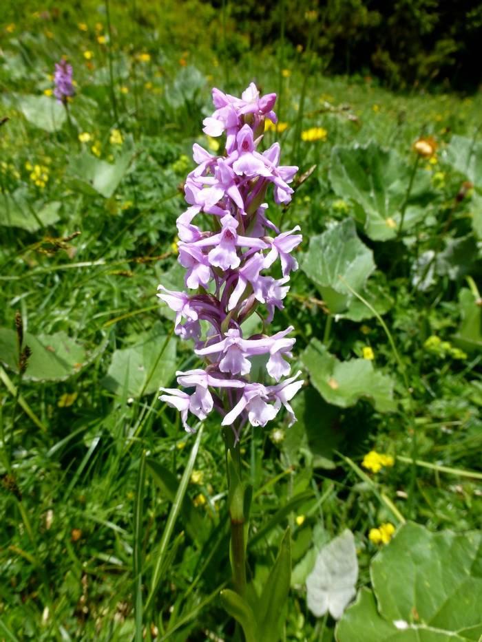Gymnadenia conopsea (Fragrant Orchid) (Kerrie Porteous)