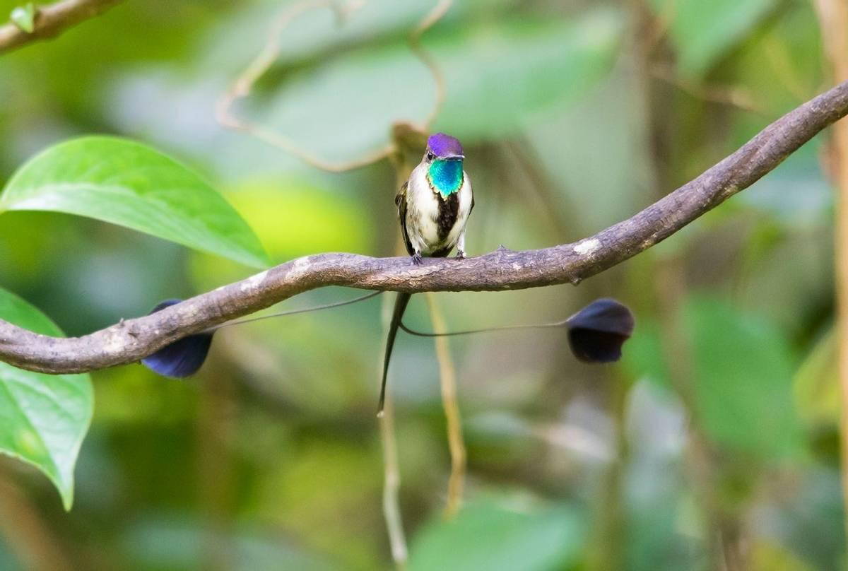 Marvellous Spatuletail, Peru Shutterstock 1028643988