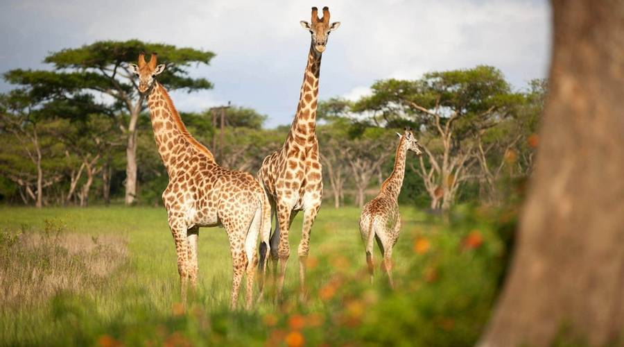 Giraffes at Karkloof Safari Villas