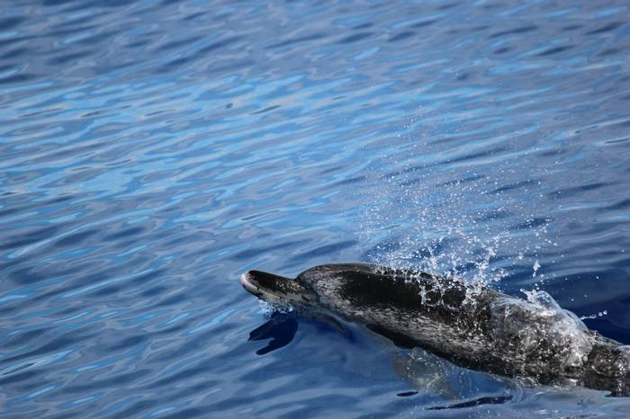 Atlantic Spotted Dolphin, Madeira by Sue Hill