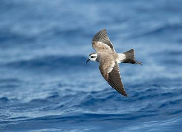 Madeira - A Seabird Extravaganza!