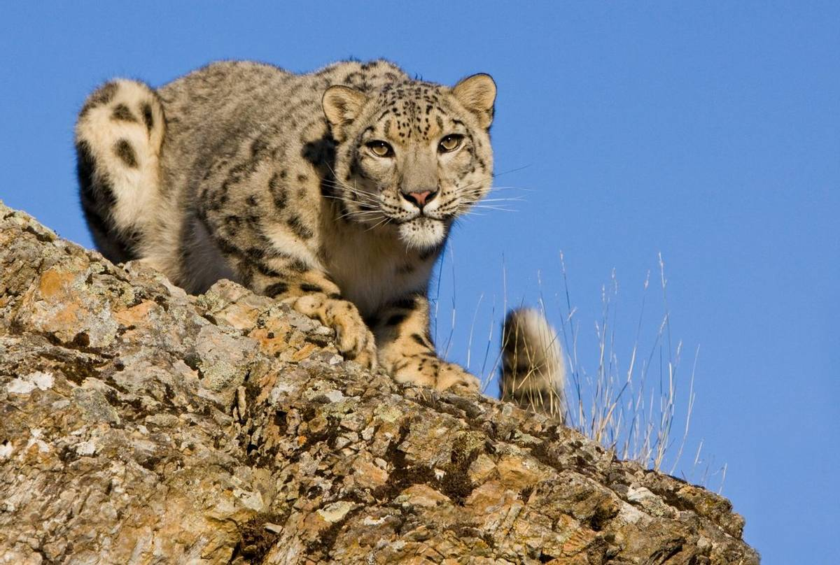 Snow Leopard Shutterstock 50961451