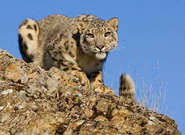 Mongolia's Snow Leopards