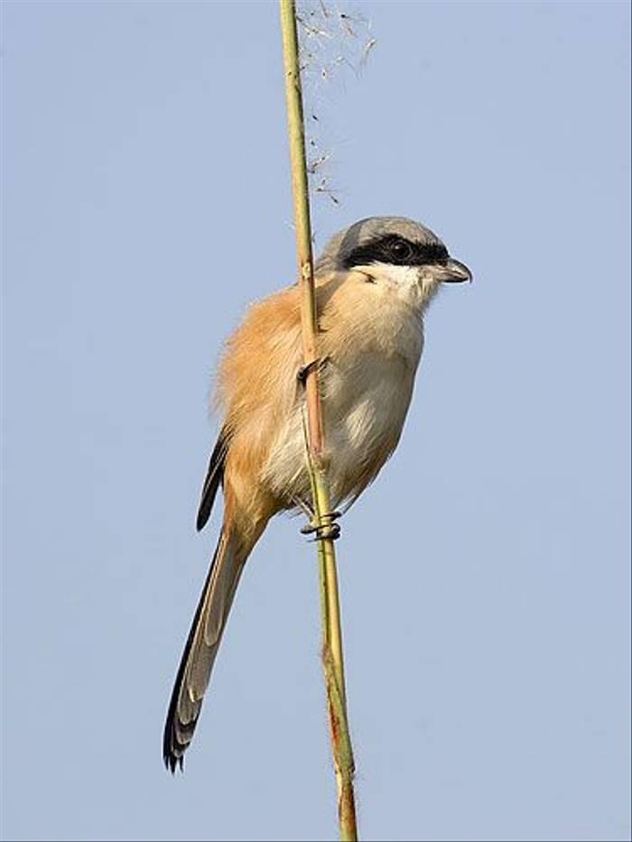 Long-tailed Shrike (Paul Marshall)