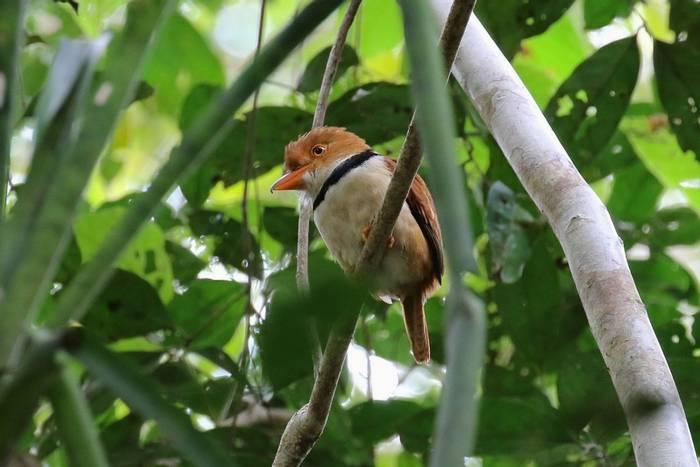 Collared Puffbird (Andrew Lapwoth).jpg