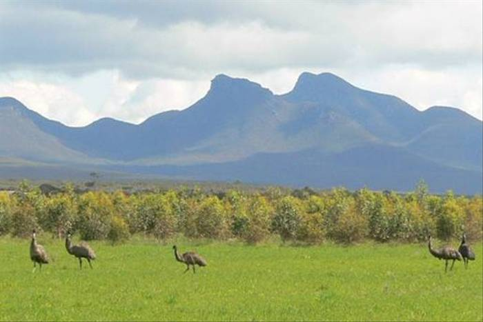 Emus at Stirling Ranges (Peter Taylor)