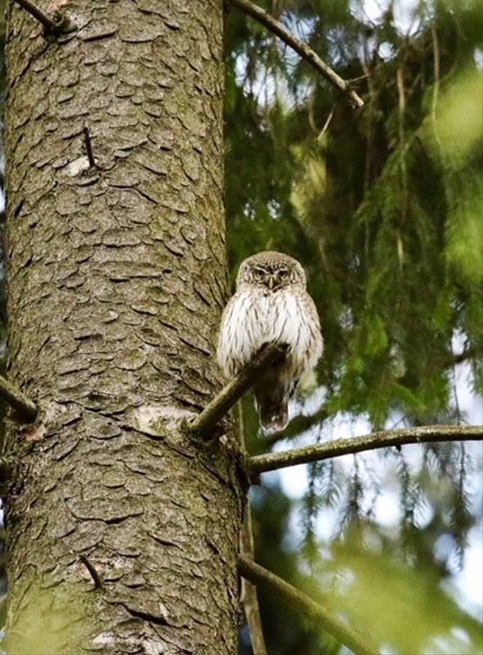 Pygmy owl (Mark Elliot)
