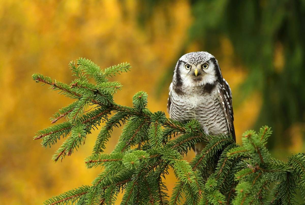 Northern Hawk Owl Shutterstock 339239804