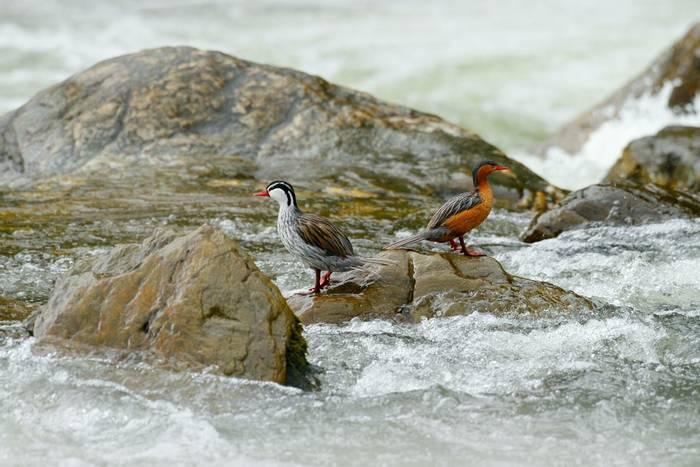 Torrent Ducks, Ecuador shutterstock_687035407.jpg