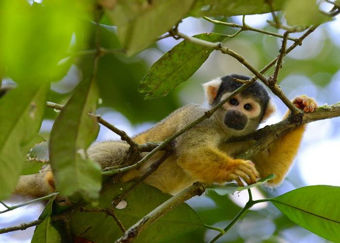 Peruvian Squirrel Monkey (Stephen Woodham)
