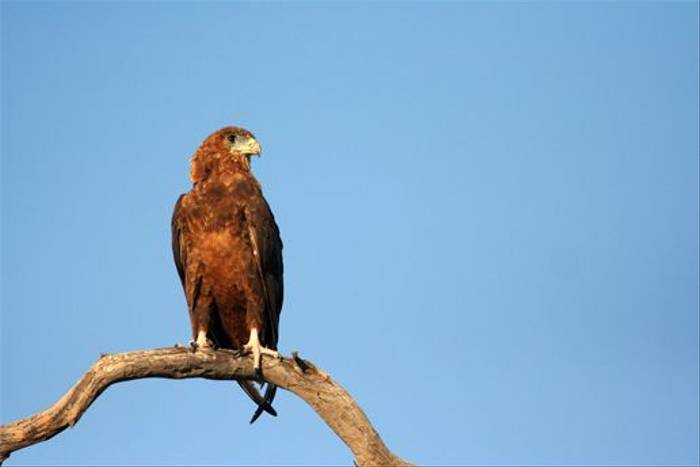 Juvenile Bateleur Eagle (Grant Atkinson)